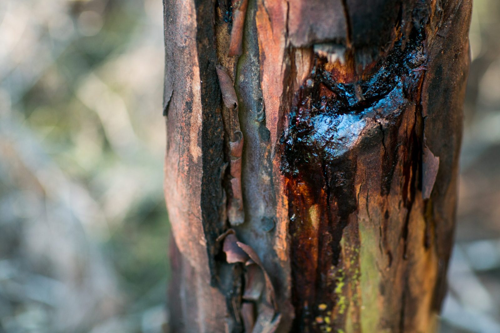 Photograph of tree sap at Firesticks Workshop at Bundanon Trust in Illaroo on the South Coast of NSW